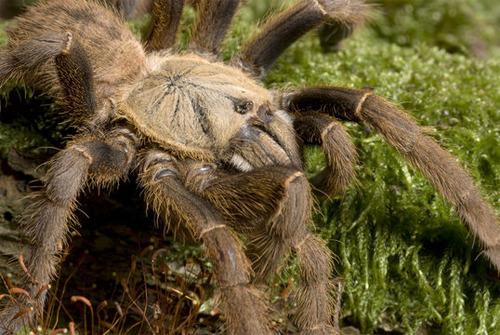 Chinese-Bird-Spiders