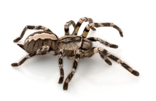 Fringed-Ornamental-Tarantula