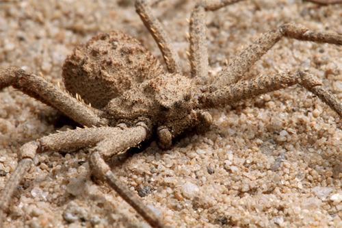 Six-Eyed-Sand-Spider